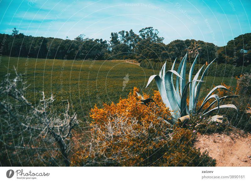 Landschaft eines Feldes in Spanien an einem sonnigen Tag ohne Menschen im Freien breit Textfreiraum links horizontal Farbe Agave Berge u. Gebirge Buchse Natur
