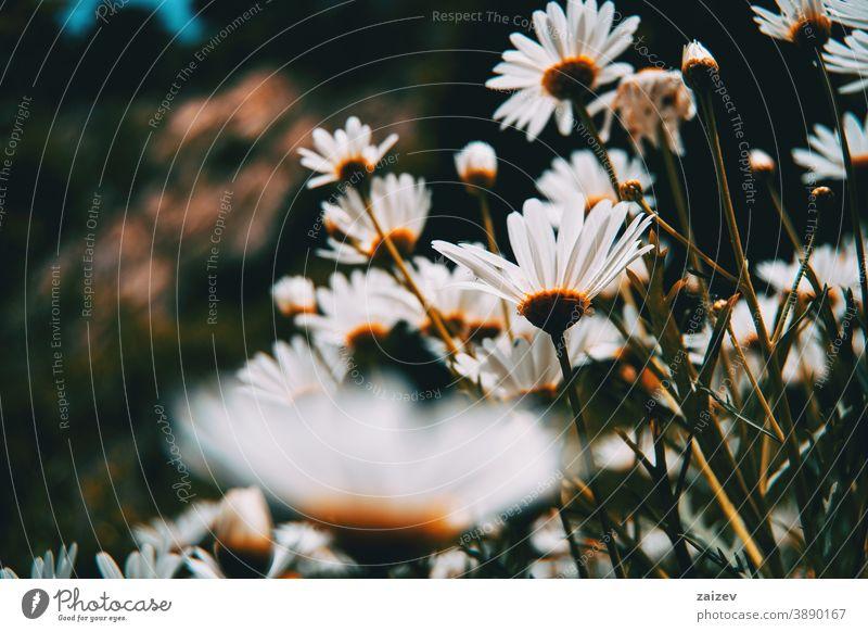 viele weiße Gänseblümchenblüten von unten gesehen Argyranthemum frutescens Argyrantheme Paris Margerite Blumen Feld Perspektive ohne Menschen im Freien
