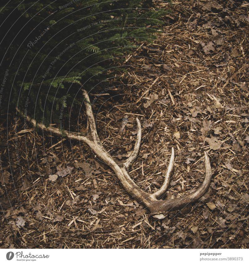 Hirschgeweih 10 Ender auf Waldboden Natur braun Edelhirsch Rothirsch Jagen Förster Wildhege Wildpflege Hirsche Wildtier Horn Tier Außenaufnahme Jagd wild