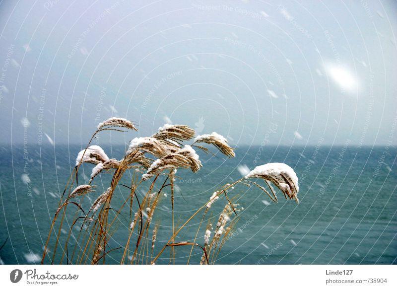 Schilf im Schneesturm Winter kalt See Wind Sturm Schilfrohr Ammersee