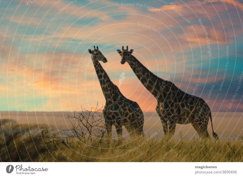 Zwei Giraffen im Etoscha-Nationalpark, Namibia etosha Safari Afrika Savanne Afrikanisch wild Tier groß Kameelopardalis wüst Pflanzenfresser Beine Säugetier
