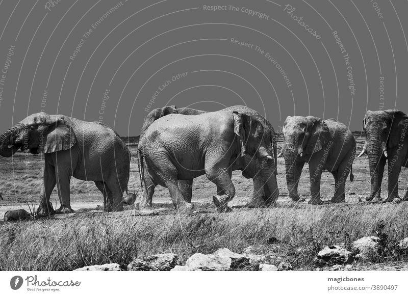 Afrikanische Elefanten im Etoscha-Nationalpark, Namibia etosha Safari Herde Tierwelt schwarz auf weiß laufen wüst Säugetier wild Menschengruppe Familie