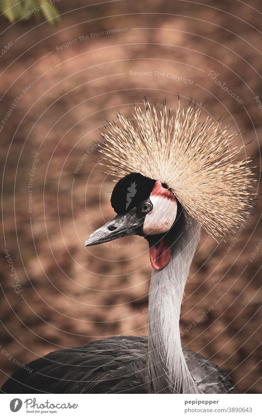 Gekrönter Kran Stolz hochnäsig Vogel Frisur Perücke Tier Feder Schnabel schön Blick ästhetisch Farbe Kopf elegant Auge Ornithologie Hals Nahaufnahme Natur