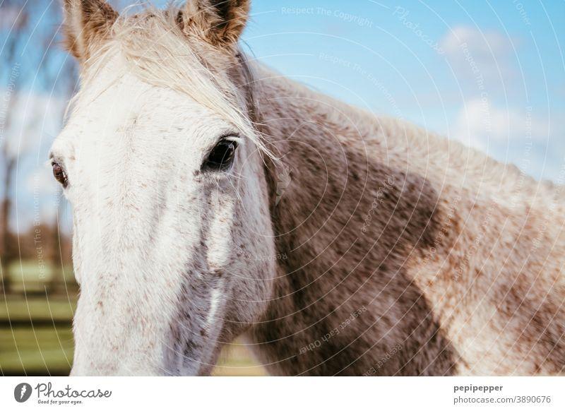 Pferd Pferdekopf Tierprtrait Tierporträt Außenaufnahme Mähne Ponys Nutztier Tiergesicht Menschenleer Himmel Tieraugen Augen Ohren Tierliebe tierisch Wolken