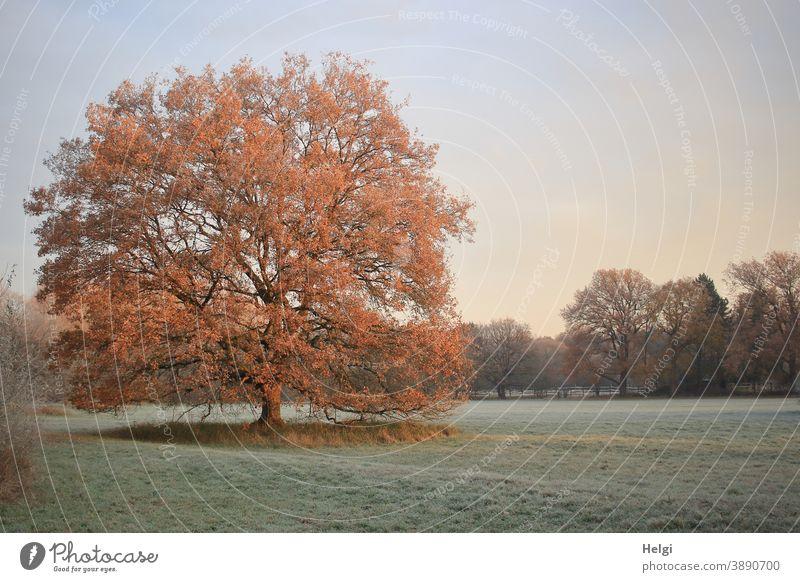 stattliche Eiche steht auf einer frostigen Wiese und wird von der Morgensonne angestrahlt Baum Frost Kälte Morgenstimmung morgens Raureif kalt Sonnenlicht