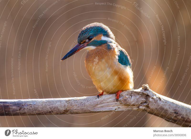 Eisvogel, Alcedo atthis, Eisvogel alcedo Edelstein Eisvoegel Eurasischer Eisvogel Juwel Vögel ansitzen ast in diesem Fall Auge blau europa Farbig federn