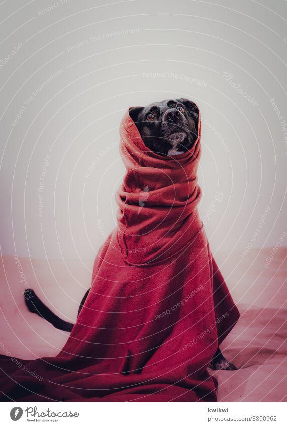 god is a dog Hund Haustier Tier Farbfoto Tierporträt niedlich Tiergesicht Tierliebe Menschenleer Innenaufnahme Häusliches Leben Fell ruhig Wohnung blick