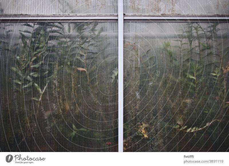 Pflanzen, die sich an der Gewächshauswand die Nase platt drücken grün Herbst Winter überwintern Chlorophyll geriffelt Natur Blatt drinnen draußen Botanik
