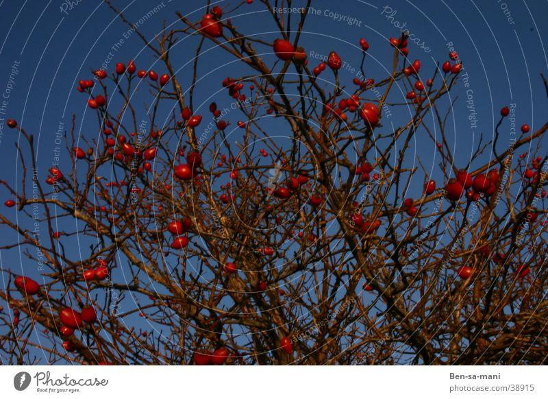 Hagebutten Himmel Pflanze Winter Farbe Lampe