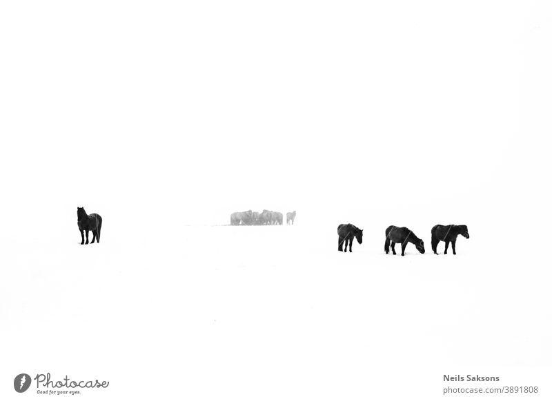 Pferdeherde im weißen Feld im Winter pferdeähnlich Silhouette Silhouetten Reiterin Tier Natur Haustier Pflege Ranch Land Landschaft Liebe Freiheit wild züchten