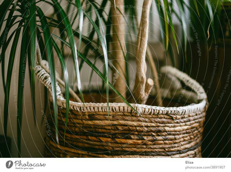 Eine Zimmerpalme mit einem Korb als Übertopf Zimmerpflanze Pflanze Pflanzenkorb grün Zuhause Grünpflanze Topfpflanze