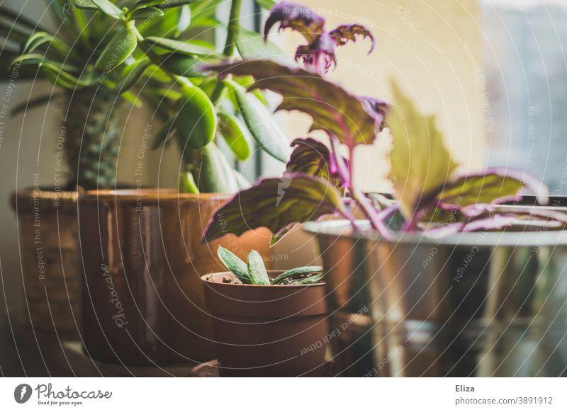 Verschiedene Zimmerpflanzen in Blumentöpfen auf dem Fensterbrett Pflanzen verschiedene grün Topfpflanzen Blumentopf Zuhause Grünpflanze