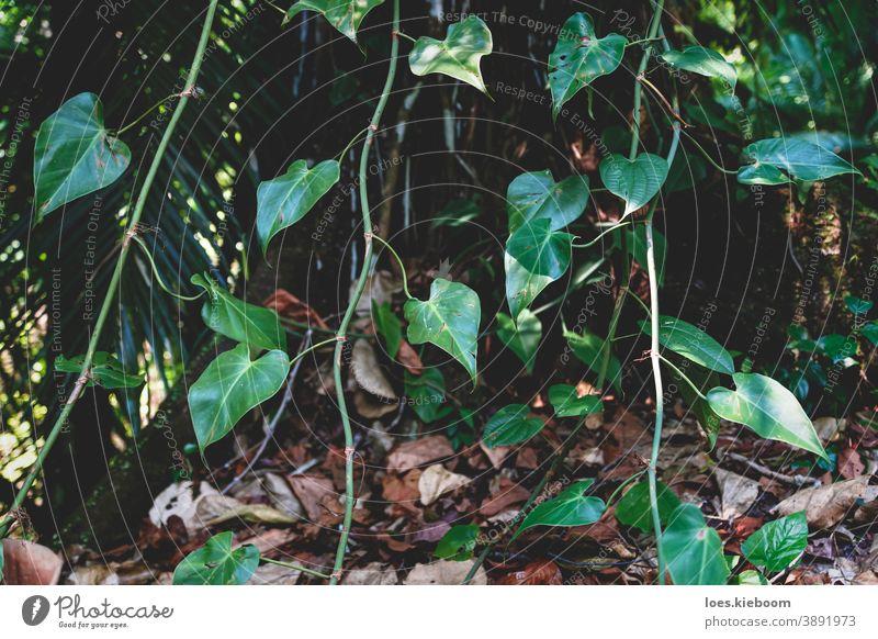 Nahaufnahme von tropischem Efeu in einem exotischen Wald in Palenque, Chiapas, Mexiko Dschungel Natur grün Baum natürlich Umwelt im Freien Blatt Landschaft