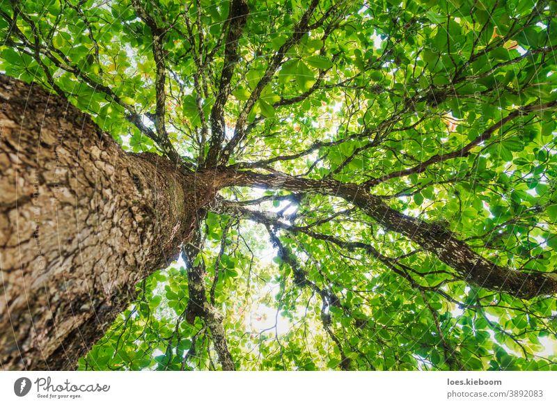 Niedrigwinkelansicht eines großen tropischen Baumes entlang des Stammes mit sonnenbeschienenen grünen Blättern, Palenque, Chiapas, Mexiko Dschungel Natur