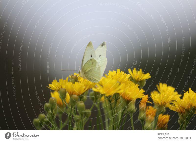 Eleganter weißer Schmetterling und gelbe Wildblumen auf der Herbstwiese am Abend gegen den dunklen Himmel. Der Schmetterling trinkt Nektar aus einer Blume. Pieris brassicae oder Kohlweißer oder großer weißer Schmetterling.