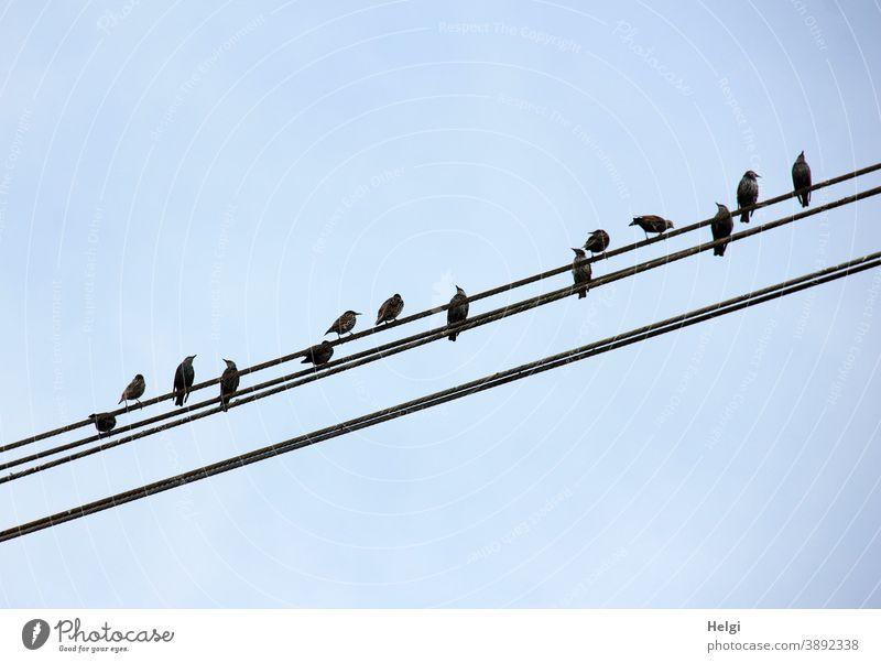 Staraufgebot - viele Stare sitzen auf Stromleitungen vor blauem Himmel Vogel Sommer schräg schwarz Tier Farbfoto Außenaufnahme Natur Menschenleer Umwelt