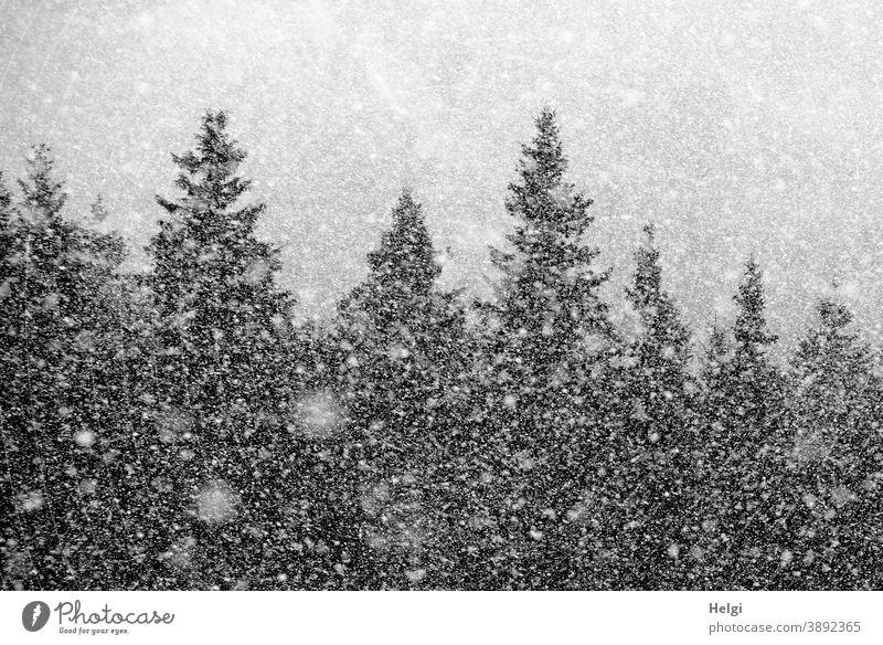 Schneegestöber - es schneit im Tannenwald Schneeflocken Winter Kälte Baum Fichte kalt Außenaufnahme Natur Wald Frost Menschenleer Schneefall Wetter Umwelt