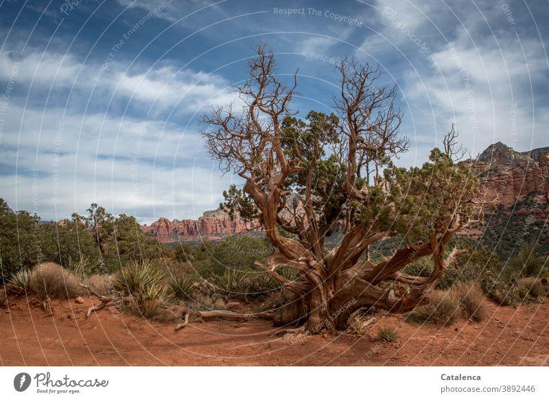 Ein alter Baum wächst in der roten Wüstenlandschaft zwischen Gräser und Gebüsch, im Hintergrund eine Bergkette Landschaft Natur Gebirge Sand Steine Pflanze