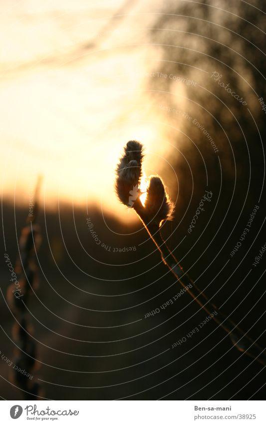 Sonnenfinsterniss Abendsonne Sonnenuntergang Gegenlicht Weidenkätzchen Warme Farbe dunkel Feierabend Spätwinter Wärme Erwachendes Leben