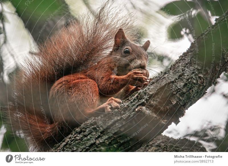 Fressendes Eichhörnchen im Baum Sciurus vulgaris Tiergesicht Kopf Auge Nase Ohr Maul Schwanz Krallen Fell Nagetiere Wildtier Blatt nah niedlich fressen knabbern