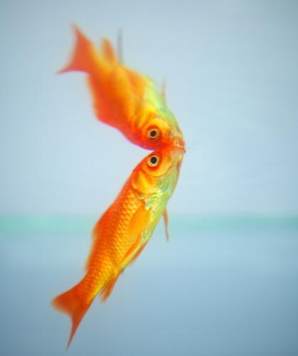 Goldfische spiegeln sich im Wasser roter Fisch unter Wasser Reflexion & Spiegelung Tier Aquarium aquatisch Hintergrund orange farbenfroh exotisch Erkundung