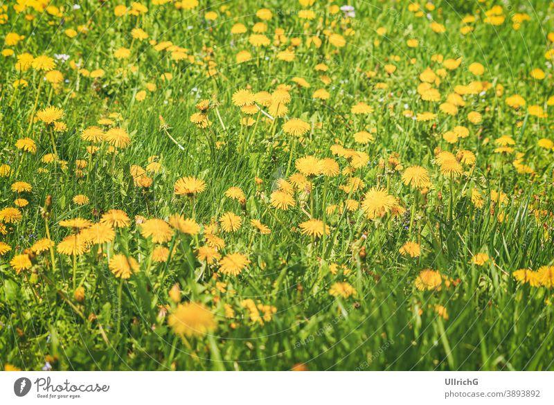 Blühende Löwenzahnwiese im Frühling. Wiese Blume Blüte Blütezeit Pflanze Saison saisonbedingt Weide Rasen Gras Grasland ländlich Landschaft Feld Natur natürlich