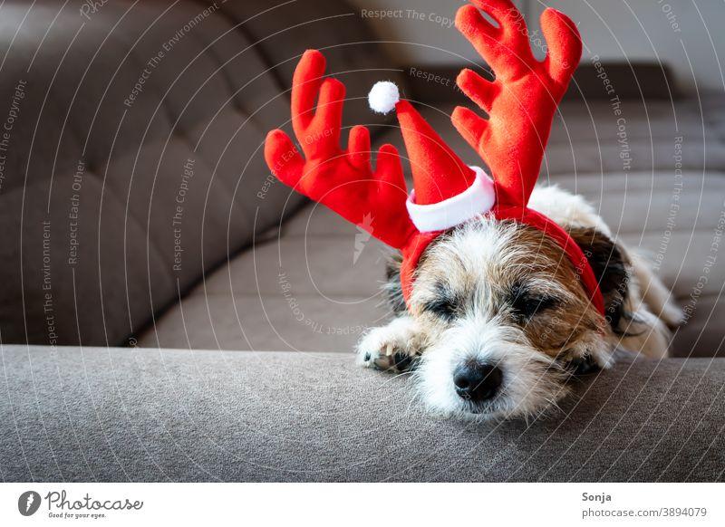 Kleiner Terrier Hund mit roten Rentiergeweih schläft auf einem Sofa klein Weihnachten Rentergeweih Kopf schlafen Couch müde Humor Haustier niedlich Tier lustig