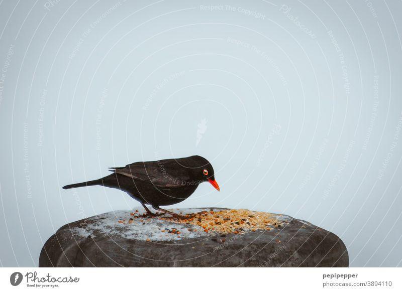 Amsel im Winter Vogel Schnabel Futter Schnee Tier Feder Natur Außenaufnahme Flügel schwarz Tierporträt weiß kalt Tiergesicht Nahaufnahme Tag Wildtier füttern