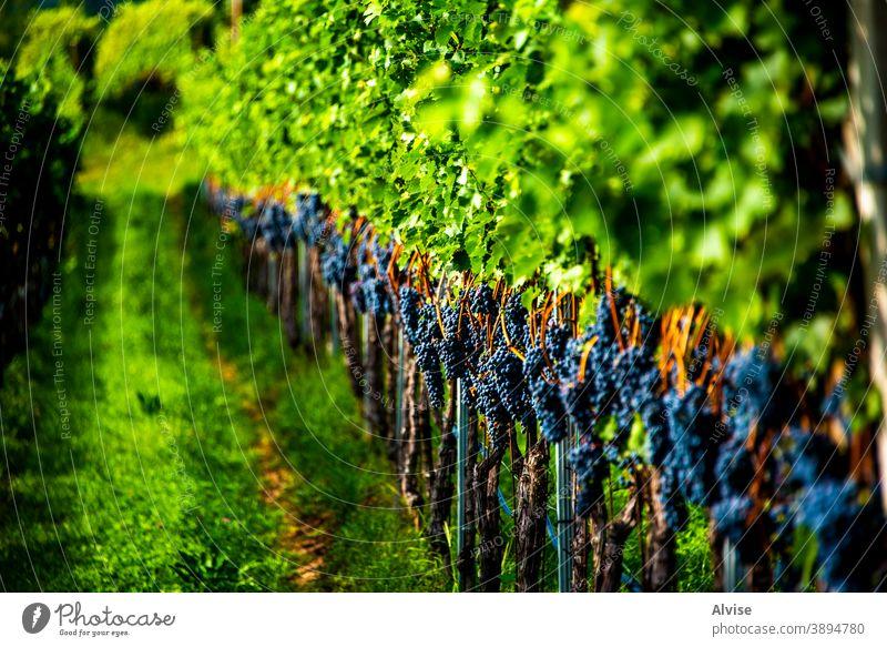 Reihen von Reben eine Wein Frucht Ernte Traube Natur Weinrebe Stengel grün Blatt reif Lebensmittel Pflanze blau Haufen frisch Hintergrund organisch Sommer