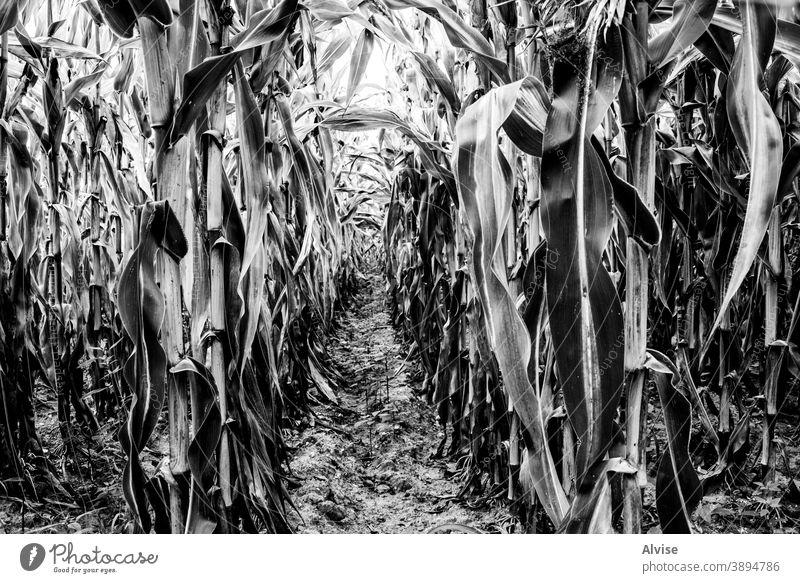 Weizenfeld in schwarz-weiß Sommer Natur Feld Ackerbau Ernte Bauernhof ländlich Pflanze Roggen Hintergrund Müsli Brot Sonne Landschaft Ackerland Saison Korn gold