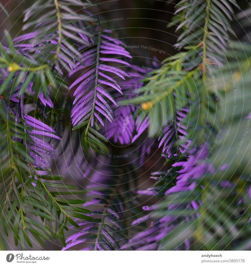 Violettfarbene Nadeln an einem Baum in Nahaufnahme abstrakt Kunst Hintergrund schön Ast Feier Weihnachten Sauberkeit abschließen Farbe farbig farbenfroh
