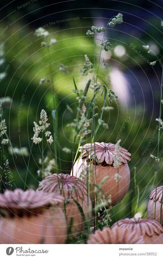mohn #2 Blume Sommer ruhig Wiese Gras Frühling Handwerk Mohn Basteln