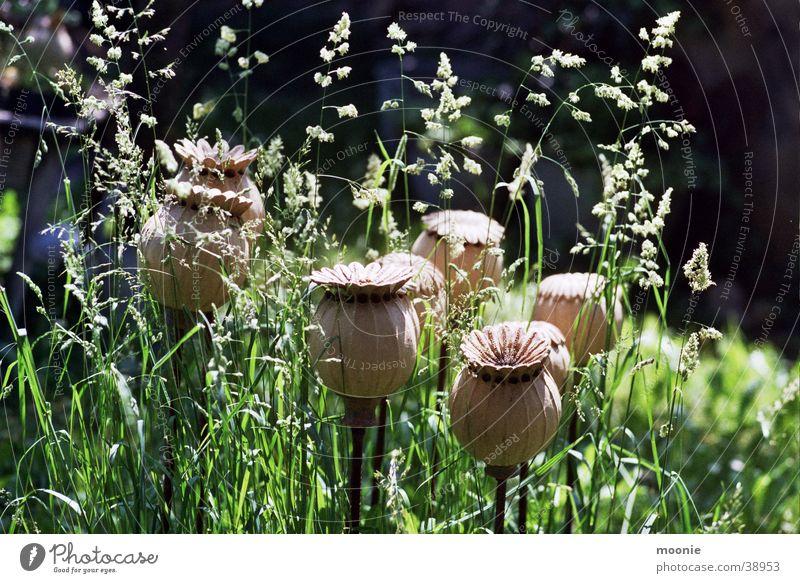 mohn schön Blume Sommer ruhig Wiese Frühling Wärme Physik Handwerk Mohn Wissenschaften Basteln verschönern