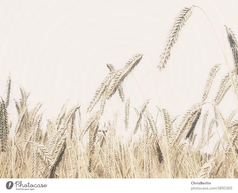 Getreidefeld blasse farben Ähren Nahaufnahme Feld Landwirtschaft Nutzpflanze Sommer Natur Außenaufnahme Menschenleer Ackerbau Korn Umwelt Kornfeld Ernährung