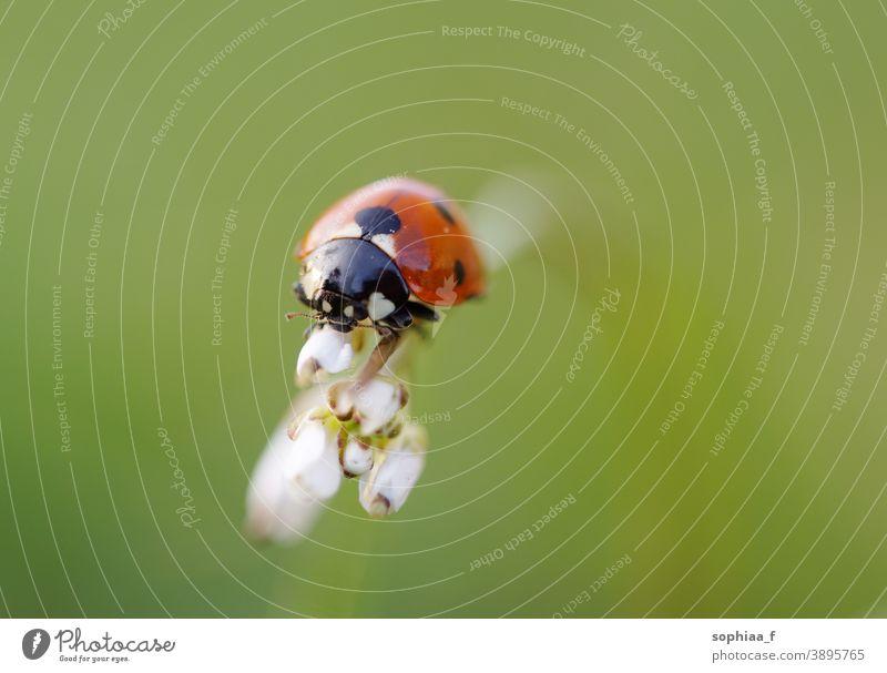 Marienkäfer an Blütenknospe, Makroaufnahme Nahaufnahme Blütenknospen Käfer Wanze Feld Flora Natur grün Frühling gepunktet Gras Garten Blume Sommer Umwelt Wiese