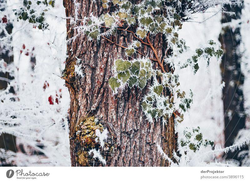 Raureif bedecktes Laub in Wiesbaden III gefroren Naturwunder faszinierend Farbfoto Akzeptanz Pflanze Laubbaum Baum Strukturen & Formen Außenaufnahme Umwelt