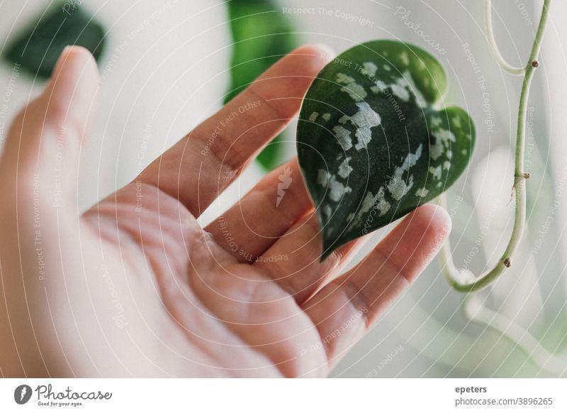 Hand hält ein herzförmiges Blatt einer gefleckten Efeutute / Scindapsus pictus halten scindapsus pflanze zimmerpflanze liebe grün grüner daumen zu hause