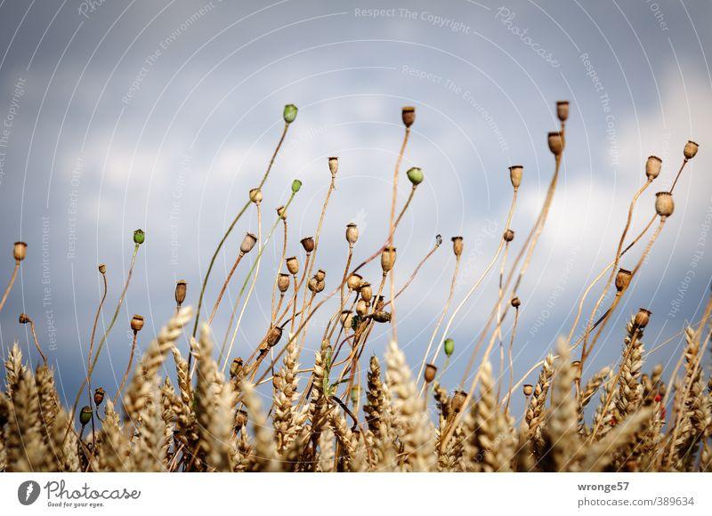 Am Feldesrand Umwelt Natur Pflanze Himmel Wolken Sommer Blüte Nutzpflanze Getreide Kornfeld Mohnkapsel Mohnkolben Feldfrüchte Weizen Weizenkörner Börde