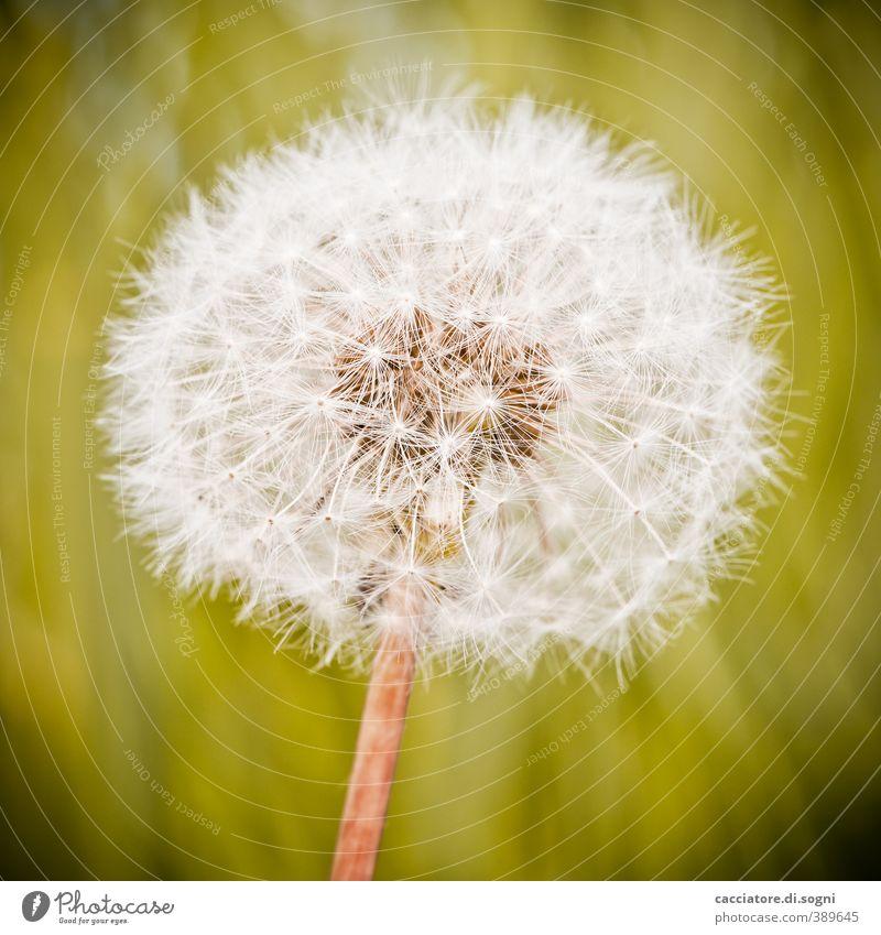 Fusseln am Stiel Pflanze Sommer Schönes Wetter Blüte Wildpflanze Löwenzahn Kugel ästhetisch dick elegant Freundlichkeit hell natürlich rund grün weiß