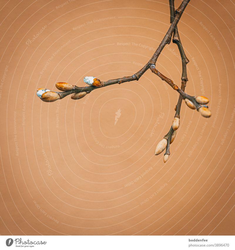 Weidenzweige  -   Austrieb der Kätzchen Anfang Dezember Weidenkätzchen Sträucher Zweig Farbfoto Spätherbst Außenaufnahme