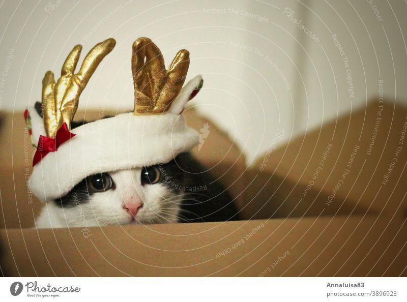 Rudolph.... Katze rentier Weihnachten Nikolaus Kitten verkleidet Kostüm Haustier Fest festlich Box Geschenk Kater babykatze kostümiert Schleife Rentiergeweih