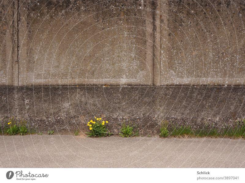 Mauerblümchen blühender Löwenzahn vor Betonwand Hintergrund Frühling Stadt urban Blüten Pionierpflanze anspruchslos Überleben Überlebenskampf Vermehrung Pflanze