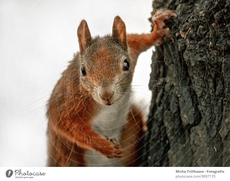 Vom Eichhörnchen genau beobachtet Sciurus vulgaris Tiergesicht Kopf Auge Nase Ohr Maul Krallen Fell Nagetiere Wildtier Natur Baum Neugier beobachten neugierig