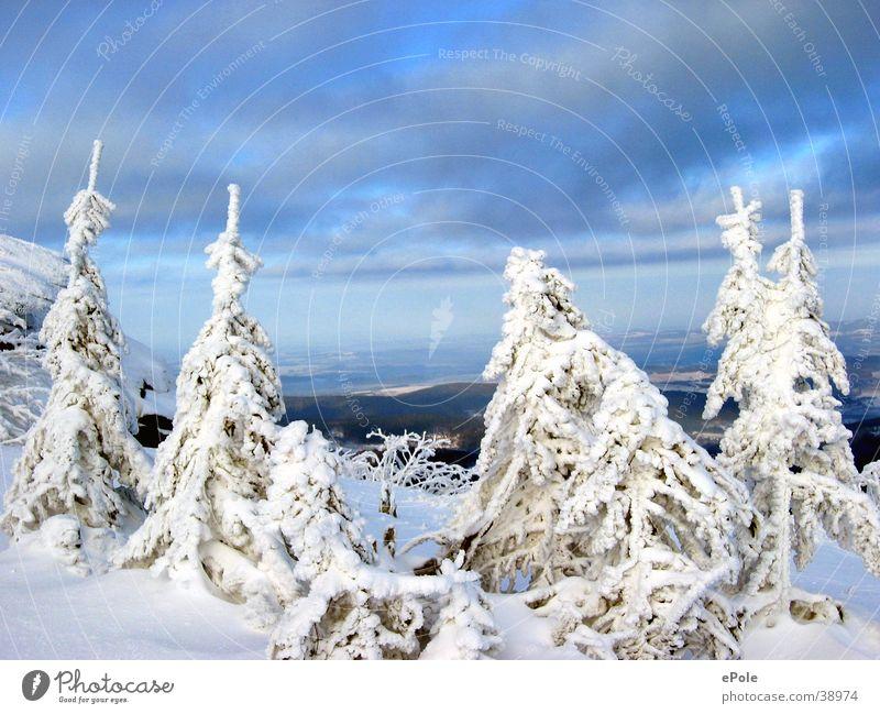 Vier schneeweisse Tannen und ein blauer Himmel weiß Schnee Berge u. Gebirge Luft