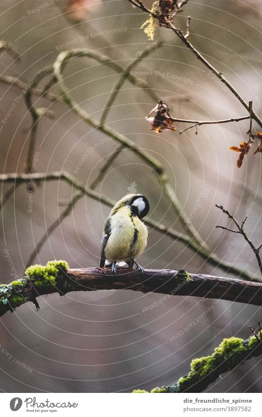 Kohlmeise putzt sich Meise Vogel Wintervogel Ornithologie Tier Natur Singvogel Außenaufnahme klein Garten Schnabel Feder gelb Baum Wald wild schön Tierwelt
