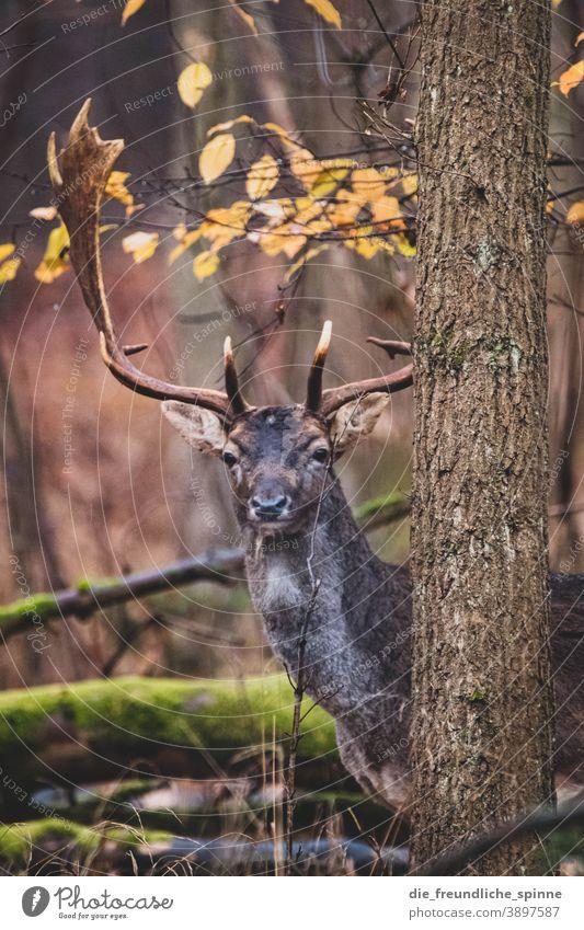 Hirsch im Wald Reh Wild Damwild Rotwild Tier Außenaufnahme Wildtier Natur Farbfoto Tierporträt Hirsche Tag Säugetier Gras Menschenleer Jagd Umwelt Landschaft