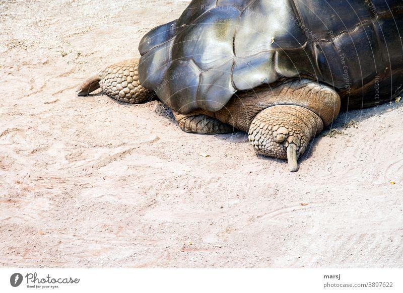 Bloß schnell weg, sagte sich die Riesenschildkröte und suchte das Weite Schildkröte Tier Hinterteil Reptil Schildkrötenpanzer Beine gepanzert geschützt