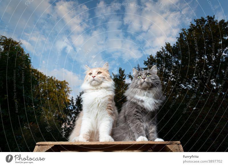 zwei Maine Coon Katzen sitzen im Freien nebeneinander maine coon katze Langhaarige Katze Natur Vorder- oder Hinterhof Garten erhöhter Aussichtspunkt Blick
