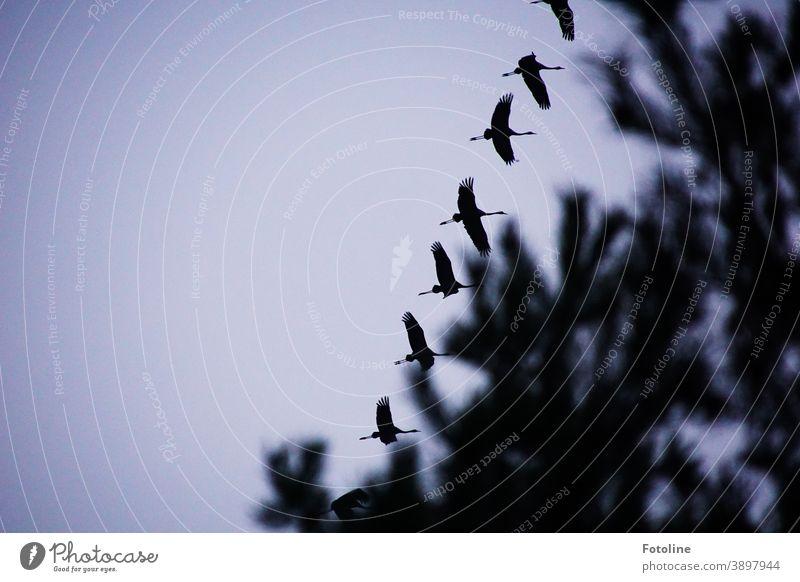 Kranichflug - oder ein Schwarm Kraniche fliegt über Bäume hinweg fliegen Vogel Außenaufnahme Farbfoto Natur Tier Menschenleer Wildtier Tag Umwelt Himmel