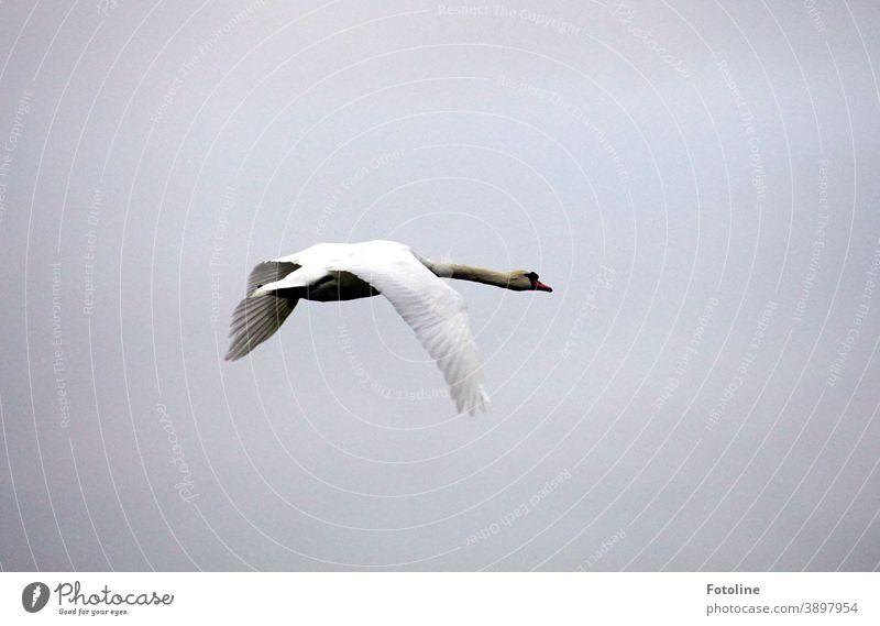 Ein Schwan fliegt elegant durch die Lüfte Tier Vogel weiß Feder schön Schnabel Hals Natur ästhetisch Außenaufnahme Flügel Farbfoto Kopf Tag Menschenleer